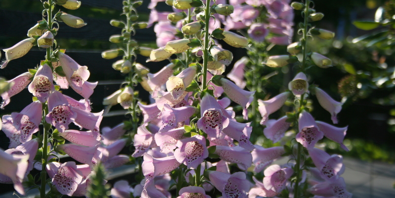 fingerbøl, digitalis