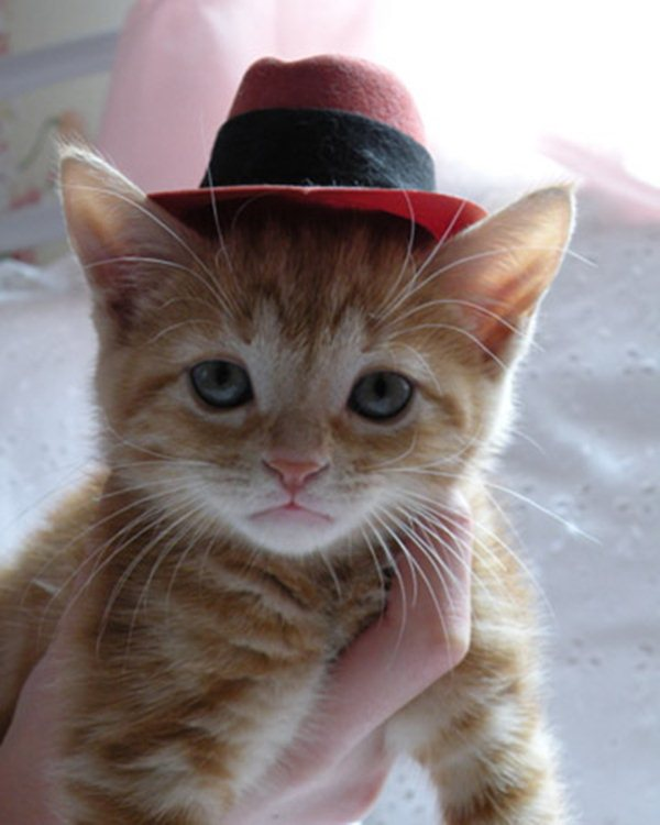 kitten wears hat, funny cats, cat photos, cat pictures