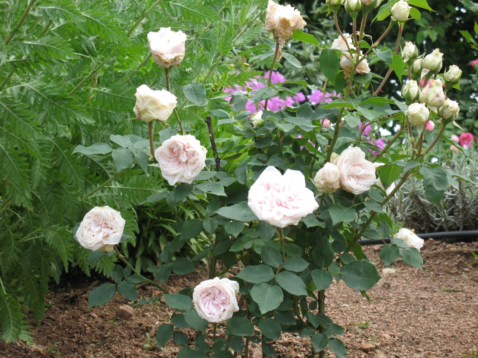 """Roses du jardin Chªneland Rosier """"Souvenir de la Malmaison"""""""