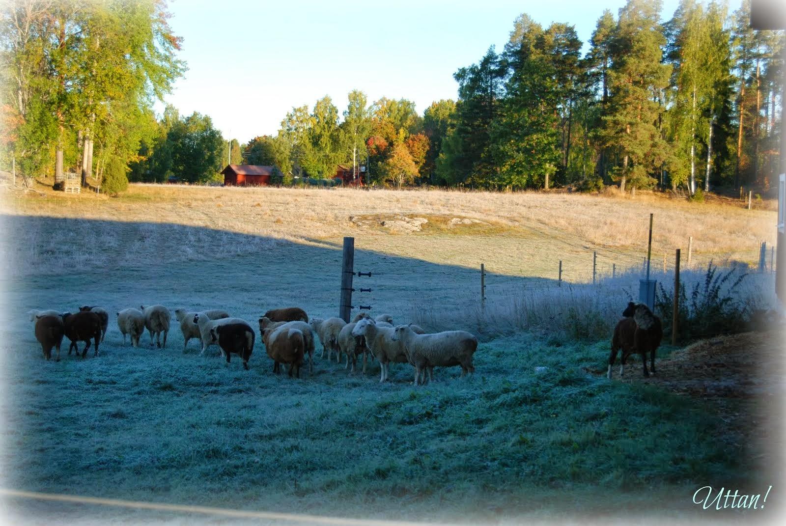 Morgon i fårhagen.....