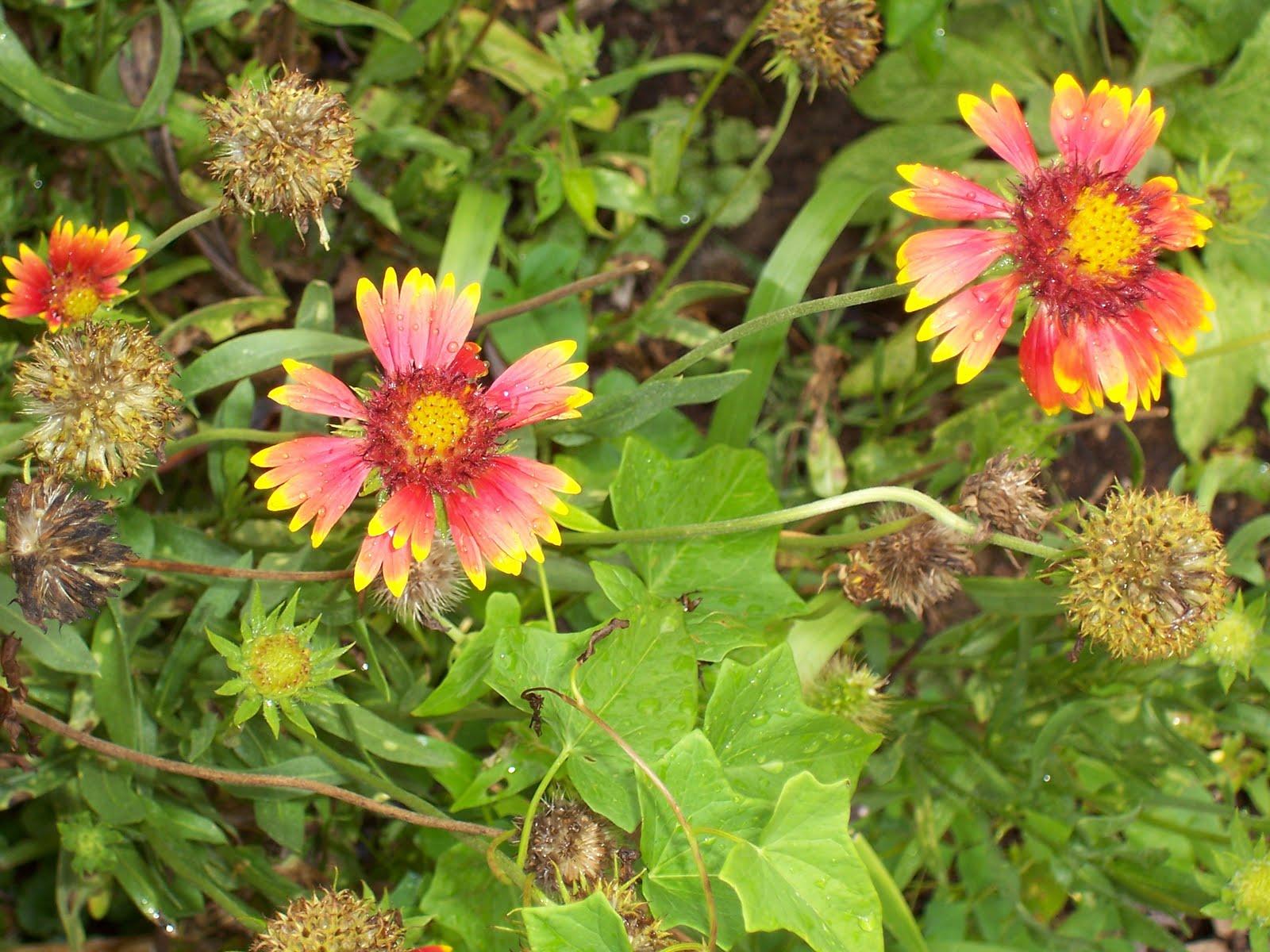 Garden Beauty Gaillardia or Blanket flower or goblin daisy
