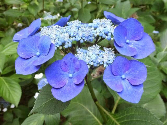 約190種2,800株のアジサイが植栽されている。