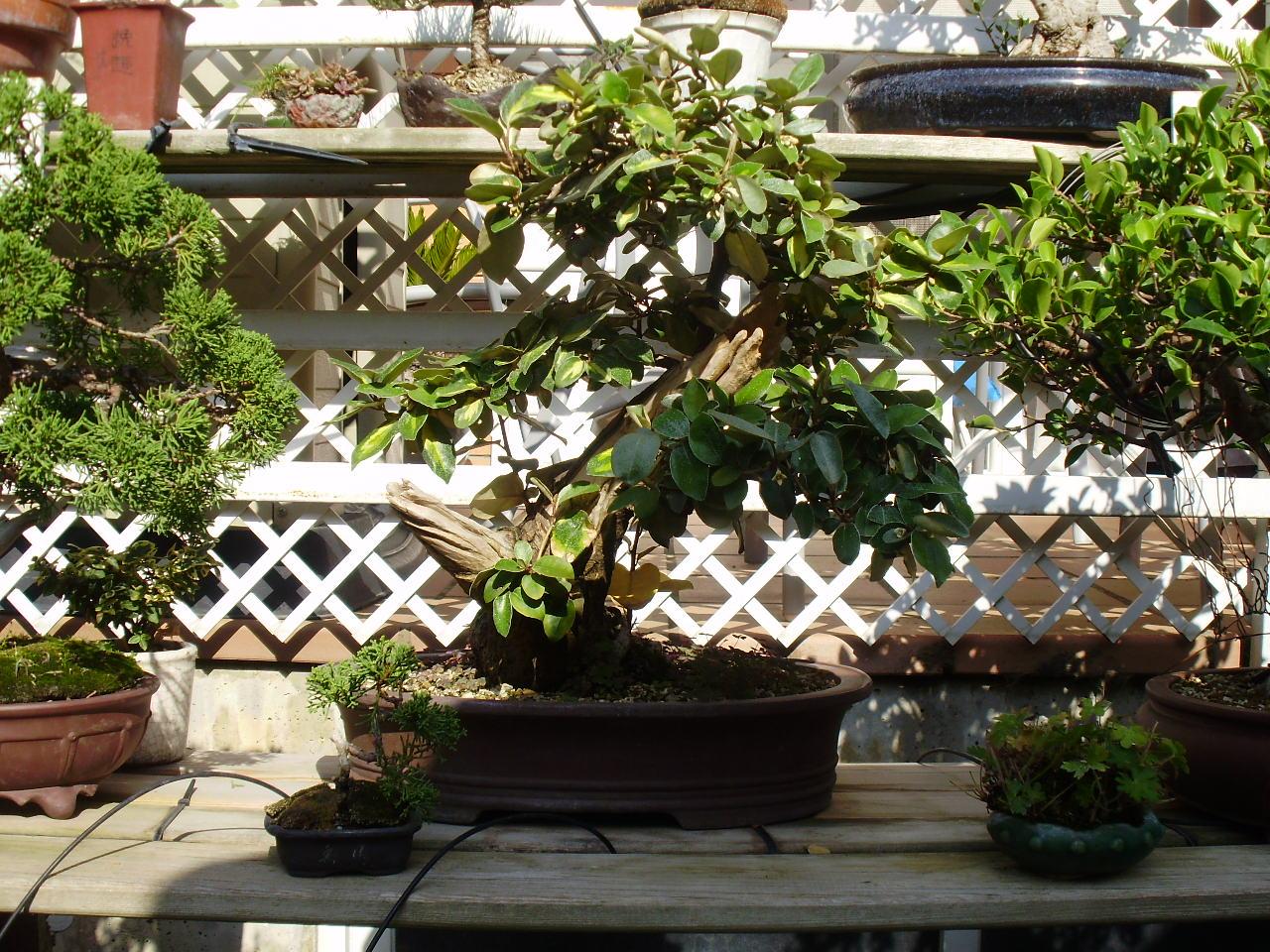 Bonsaicodelia eleagnus en flor for Estanterias para bonsais