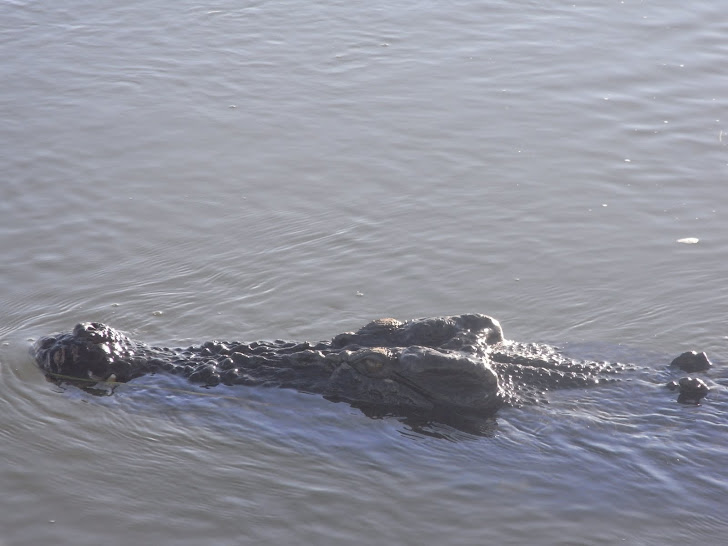 WATERS THE CROC....FROM YELLOW WATERS NT
