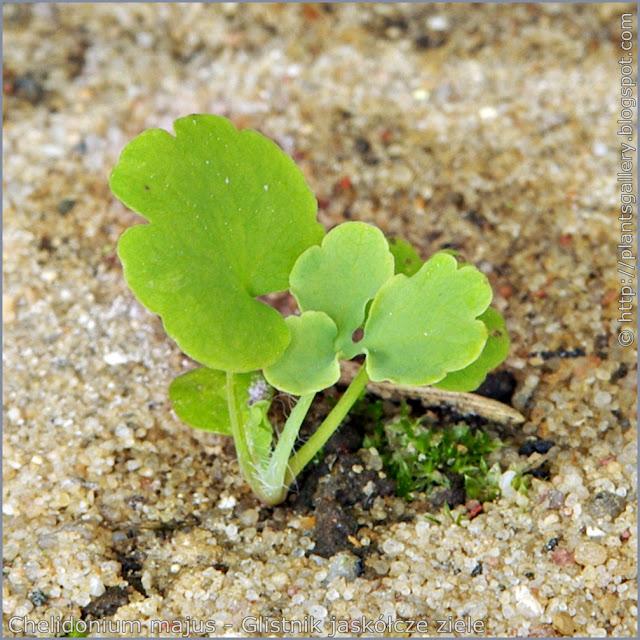 Chelidonium majus seedling - Glistnik jaskółcze ziele siewka