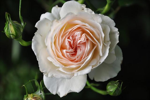 schunsland tuin rozen vintage en handwerk nieuwe rozen. Black Bedroom Furniture Sets. Home Design Ideas