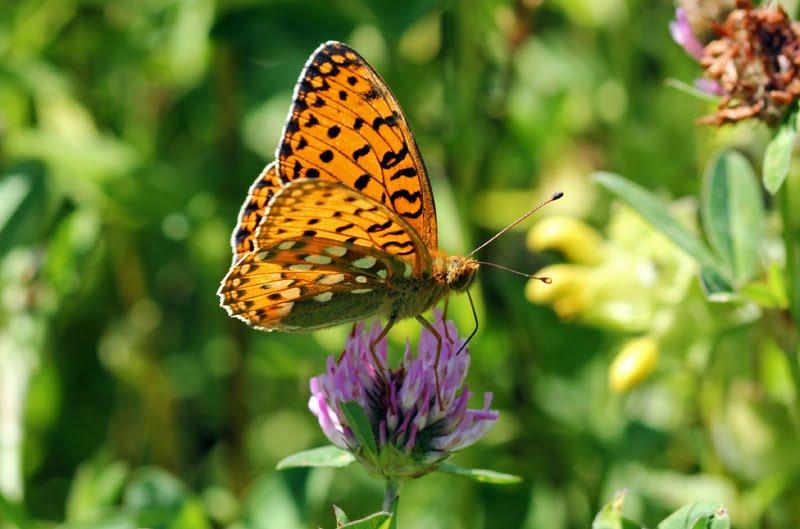 bruin oranje vlinder