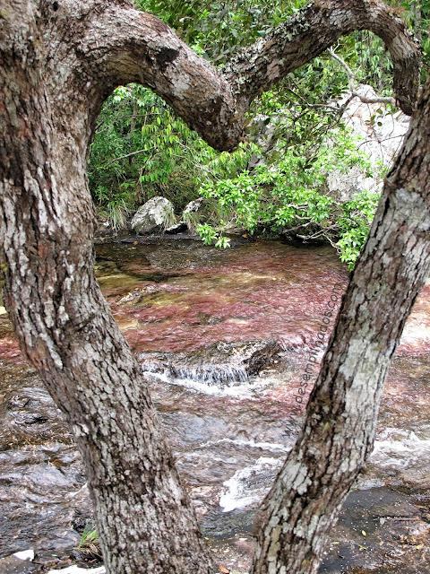 Macarena, em Meta, Colombia. Aventura no rio mais lindo do mundo. Adventure trip to see macarenia clavigera.