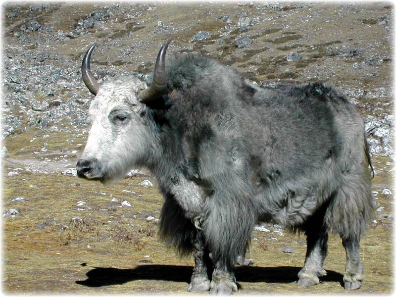 Yak Animal