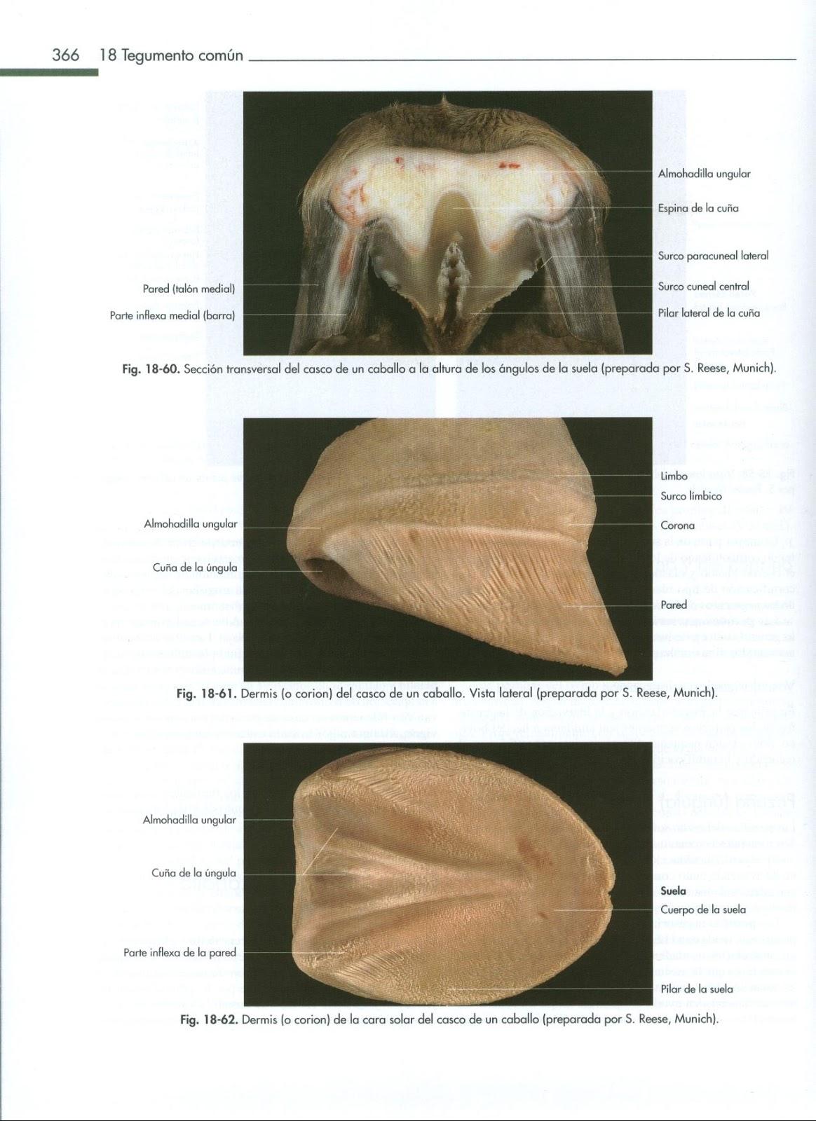 Anatomia Veterinaria: Casco de equino
