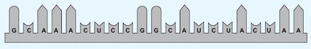kode-kode basa N dengan tabel kode genetik mRNA