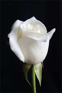 Mawar%2BPutih  7 Arti Warna Pada Bunga Mawar