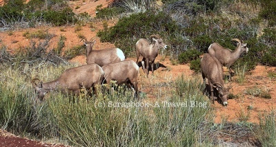 Utah Zion National Park Bighorn Sheep