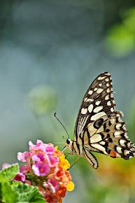 Kupu-kupu endemik Kapuas Hulu
