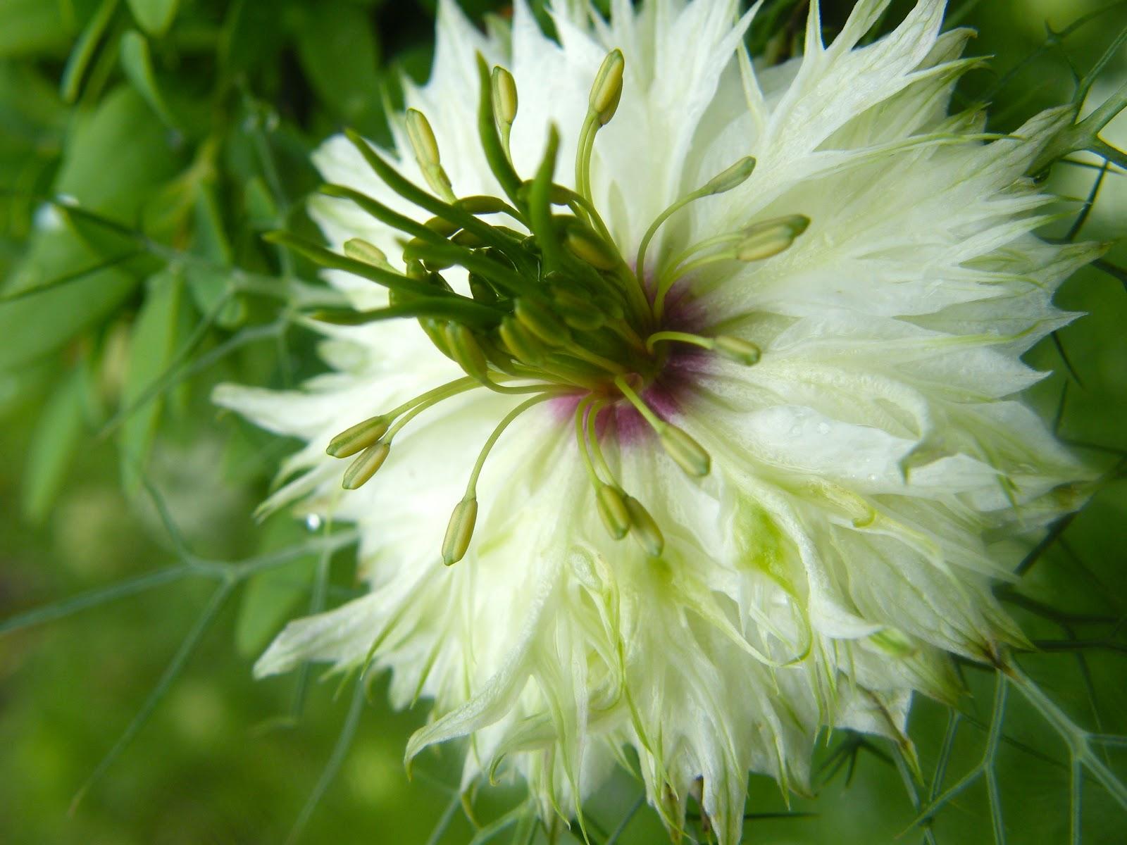 Нигелла дамасская. Выращивание 19