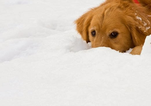 https://www.etsy.com/listing/109200211/set-of-snowy-golden-retriever-dog-photo?ref=favs_view_5