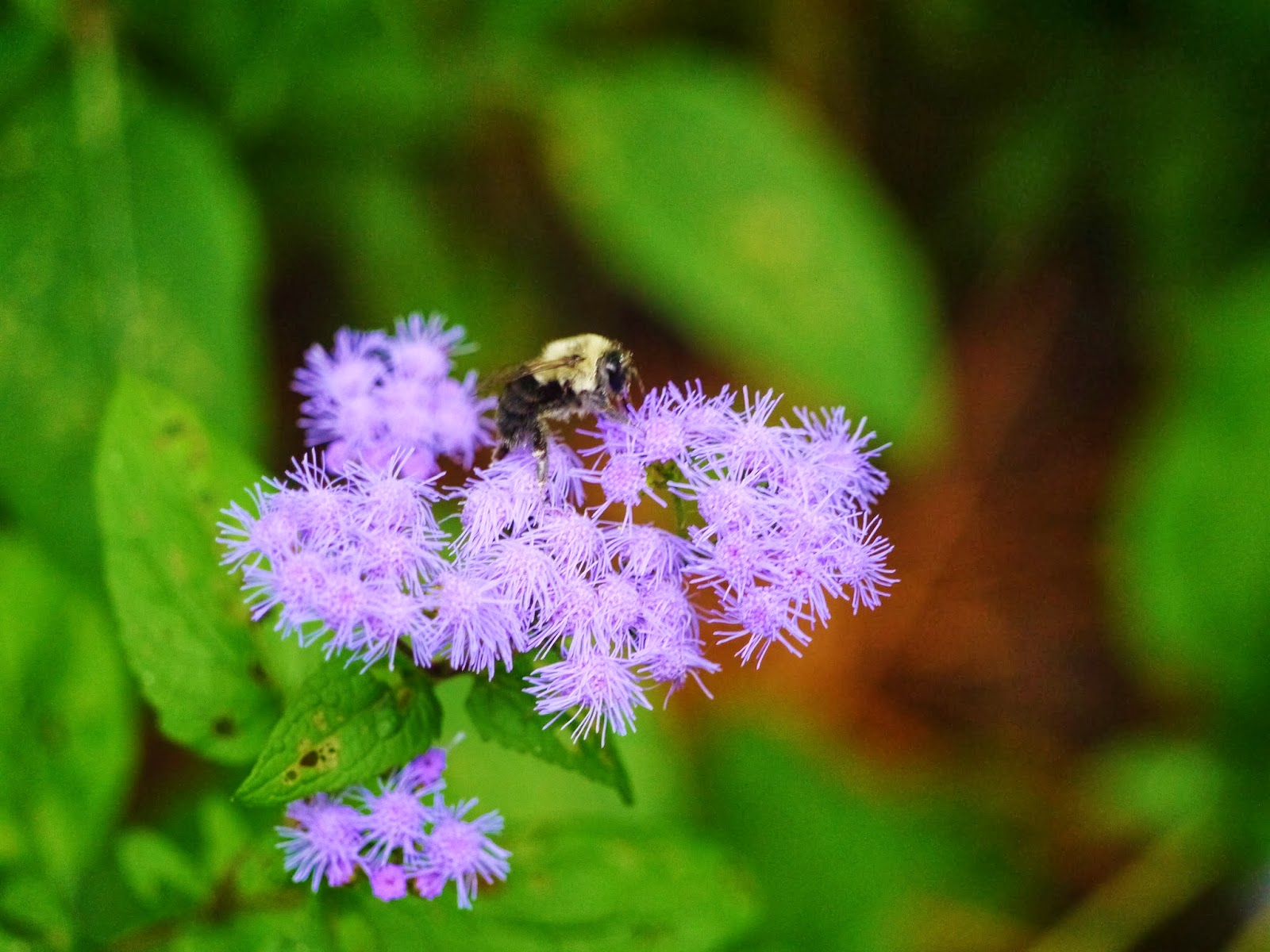 Gardensduke plant spotlight blue mistflower the button like fluffy blue flowers attract butterflies and bees and theyre worth seeing in person since the depth of color is difficult to capture with izmirmasajfo