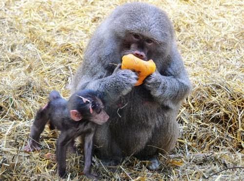 Koleksi Gambar-gambar Monyet Yang Cute Sangat, Baju Monyet, Jenis-jenis Monyet, Nama Saintifik Monyet, Monyet Yang Comel,