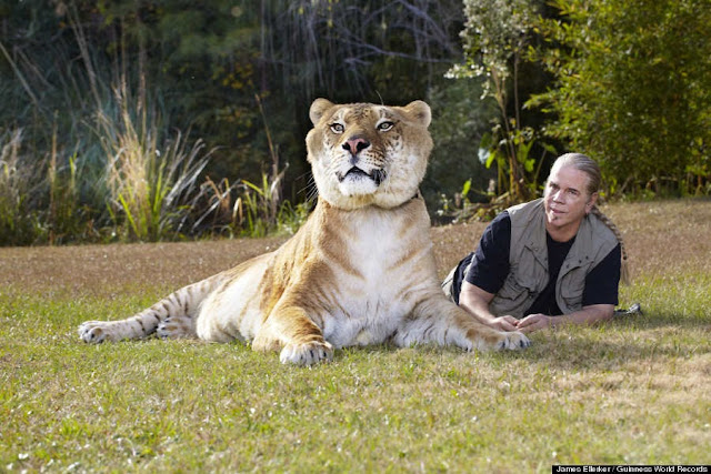 922-Pound Hercules, Is The World's Largest Living Cat