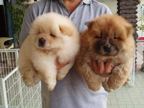 White and brown chow chow puppies