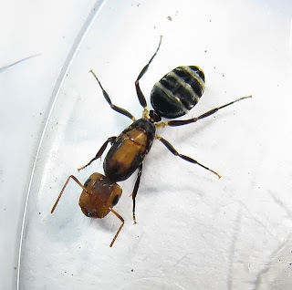 Queen of Camponotus bedoti