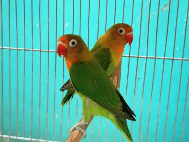 Beautiful African Love Birds 4