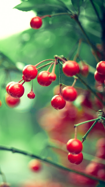 Red cherries hanging on tree