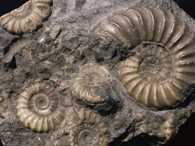 Fossils Ammnonite