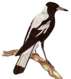 magpies are amazing