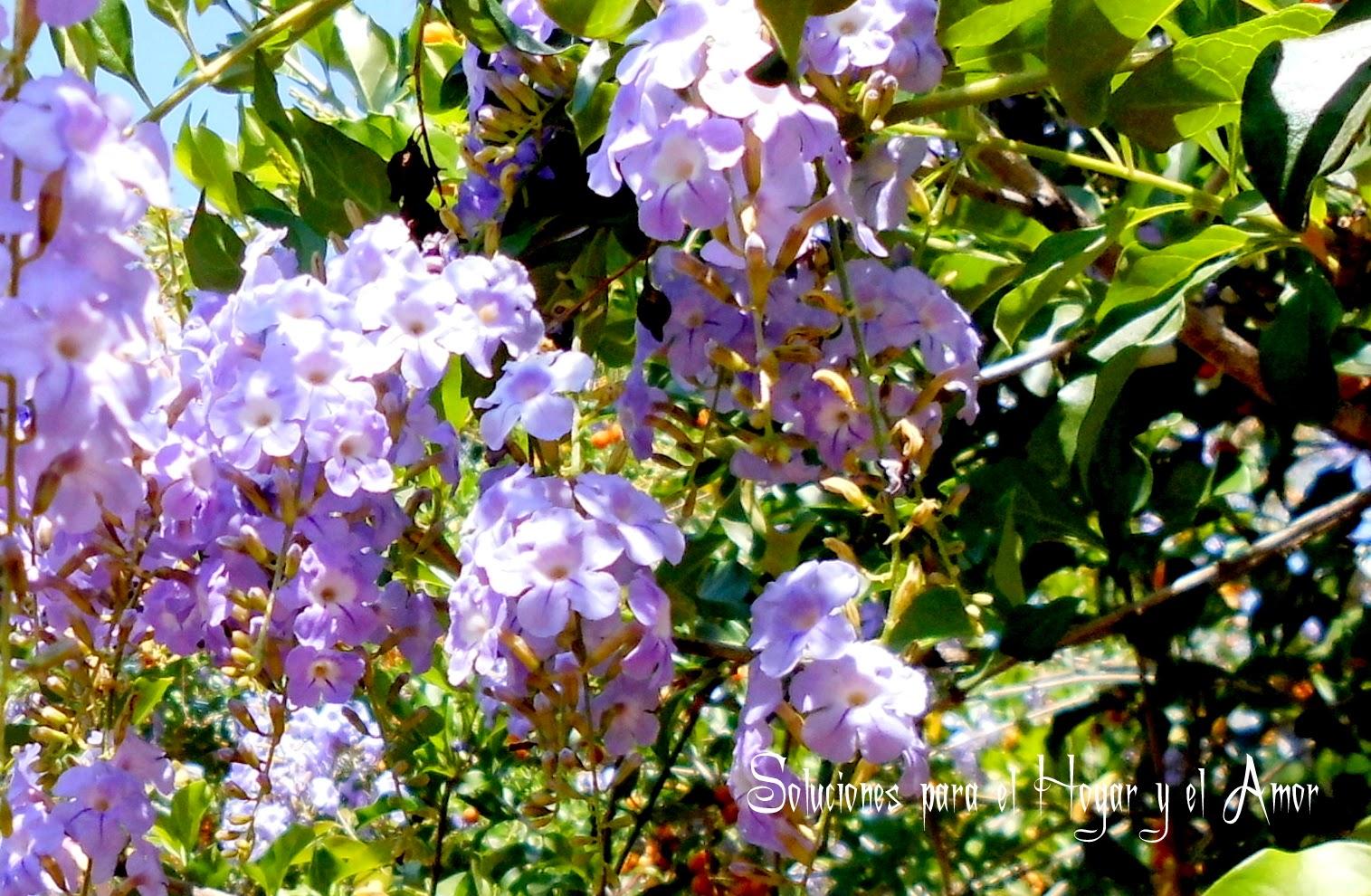 Flores de Grano de Oro, Duranta