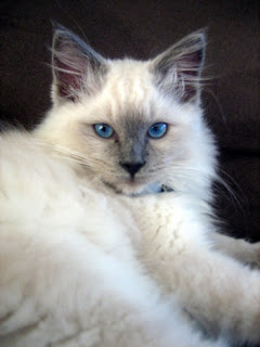 ragdoll cat pictures pets breed kittens animal domestic