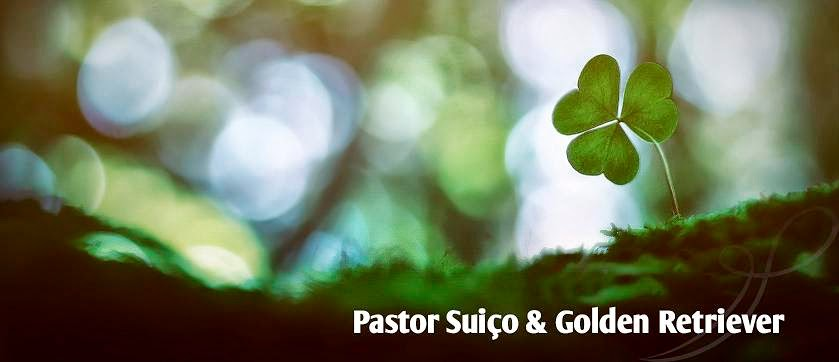 Canil Gluck Immer - Criação de Pastor Branco Suíço e Golden Retriever