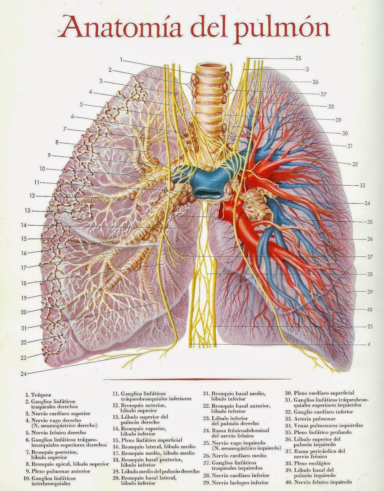 AIKA: ilustraciones de la anatomia de varios organos y tejidos