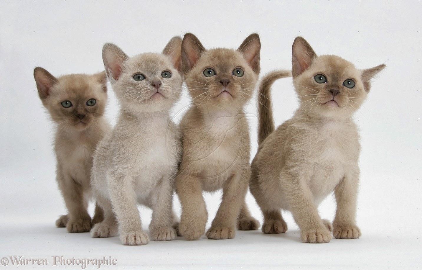 Burmese Cats  Animal Planet