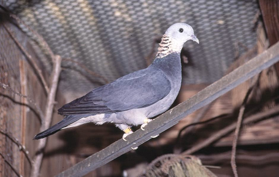 Ashy woodpigeon Columba pulchricollis