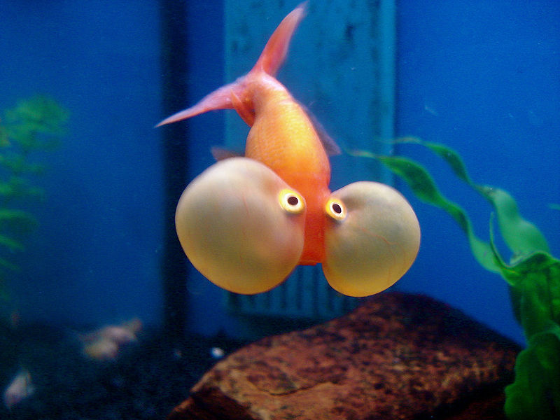 Bubble Eye Goldfish - Picture by Angie Torres