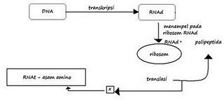 Lucias nge blog november 2011 tanda x pada diagram sintesis protein adalah ccuart Image collections