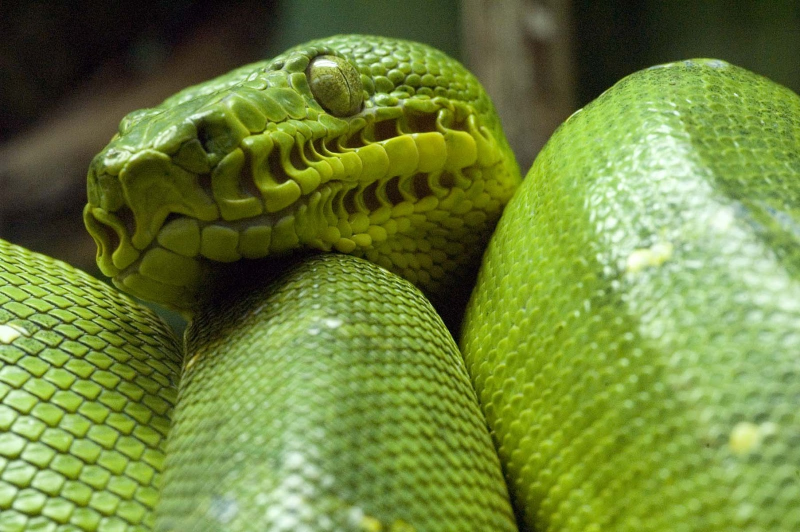 Emerald Tree Boa Pictures 85