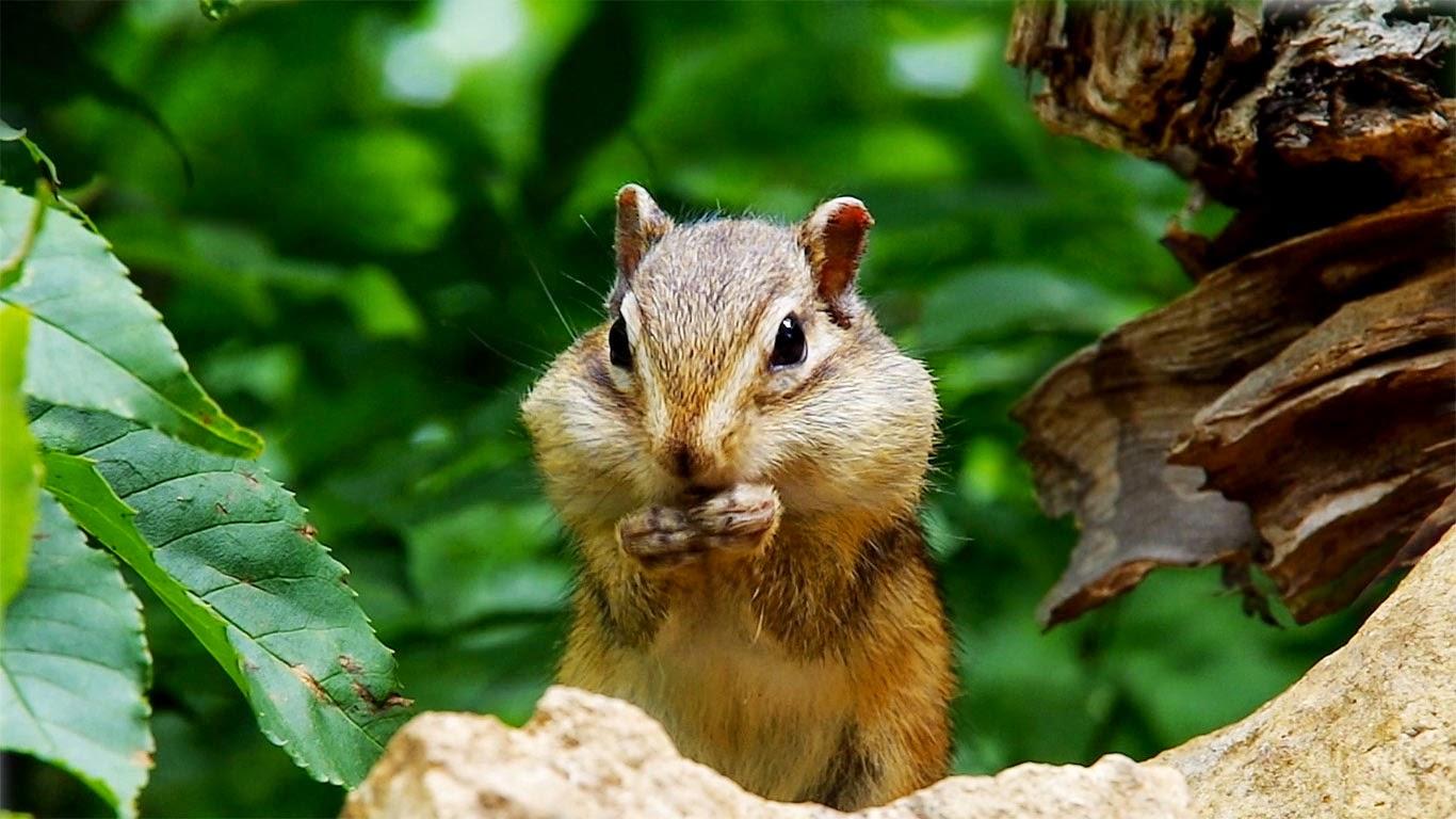 Siberian chipmunk eating sunflower seeds, Hokkaido, Japan (© Shutterstock) 180