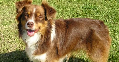 Cute Puppy Dogs: australian shepherd puppies brown