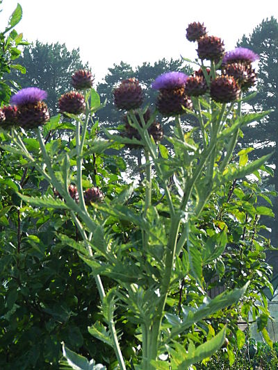Cardoon in August