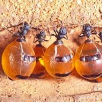 hormigas odres