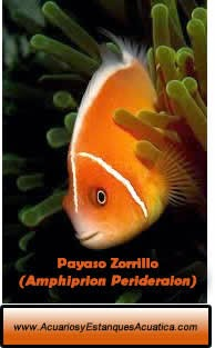 acuarios-estanques-acuatica-pez-payaso-zorrillo