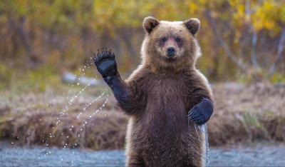 Un oso saludando