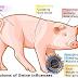 Inilah 10 Fakta Ilmiah Kenapa Hukum Makan Babi Haram? Temukan jawabannya disini, SEBARKAN !!!