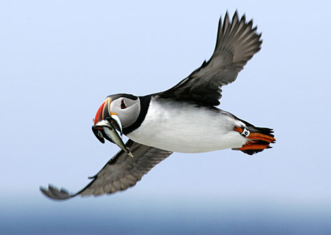 Image result for طائر الأطلسي الذي يصطاد الأسماك