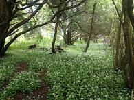 Irlantilaista metsää