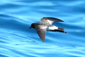 New Zealand Storm Petrel 