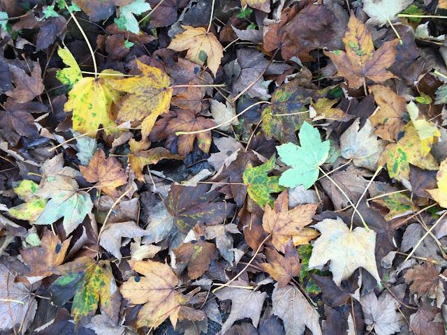 Sycamore leaf-fall.  Hayes, 4 November 2015.
