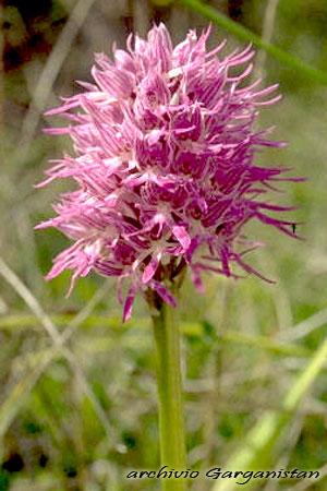 Garganistan Gargano Orchidee Orchis italica poiret